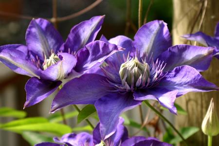 Clematis purple
