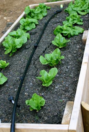 Gardening lettuce