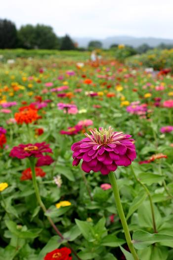 Sauvie island flowers